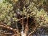 Гнездо имеет очень прочное основание благодаря плотному сплетению сосновых веток. Фото В.Мороз, 09.09.14