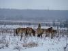 Лошади Пржевальского уже 10 лет благополучно обитают на территории зоны