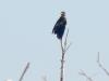 Молодой орлан сушит оперение
