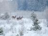 Благородный олень обычен в зоне отчуждения