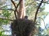 Бородатая неясыть охраняет птенцов