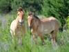 Одиночные самцы лошади Пржевальского