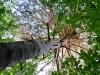 Гнездо орлана на высоте 25 м