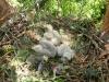 Птенцы канюка