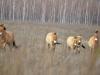 Лошади Пржевальского - неизменный символ зоны отчуждения ЧАЭС