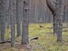 Сосновые насаждения у болот напоминают тайгу