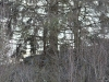 В с. Глинка хищная птица разместила гнездо на ели; возможно, канюк