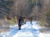 Группа лошадей Пржевальского (с. Глинка)