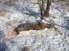 Найденный мертвый волк; причины смерти волка пока остались не выясненными