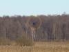 Новое найденное гнездо орлана. Взрослая птица у гнезда