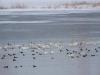 В скоплениях водно-болотных птиц всегда найдутся потенциальные жертвы для орланов