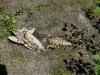 Скелет рыбы – остатки добычи орлана