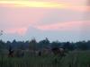 Лошади Пржевальского кормятся на фоне заката