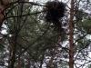 Гнездо обыкновенного канюка на краю сухих веток