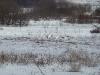 Большие белые цапли в долине Припяти