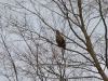 Дорослий орлан на присаді