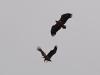 Повітряні ігри молодих орланів