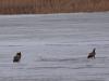 Орлани відпочивають на крижаній поверхні водойми