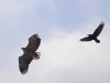 Крук переслідую орлана