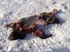 Залишки дикого кабана, вбитого вовками, де годувалися орлани
