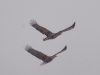 Дорослий і молодий орлан грають в небі