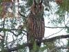 Вухата сова з криловою міткою (за програмою досліджень Сербського центру охорони сов).