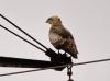 Вторая (более крупная) птица имела аналогичный окрас