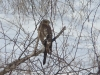 Молодая самка ястреба-перепелятника