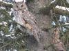 Ушастые совы