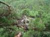 Птенец большого подорлика в гнезде