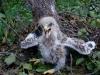 Гибридный птенец подорлика