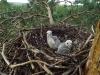 В гнезде у чеглоков лишь 2 птенца