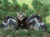 Птенец большого подорлика на гнезде
