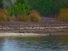 Скопление орланов на берегу пруда-охладителя, где птицы кормятся погибшей рыбой
