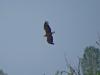 Этому орлану около 4-х лет