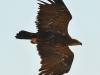 Самка степного орла слетела с гнезда. Окольцевали два птенца. Казахстан 2013 г.