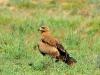 Молодой степной орел, Казахстан 2013 г.