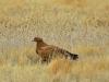 Степной орел, Казахстан 2013 г.