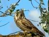 Ушастая сова, степной Крым, 2009 г.