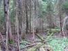 Еловые участки леса