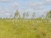 В некоторых участках болото зарастает берзой