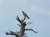 Самка дербника волнуется у гнезда (фото В. Домбровского)