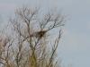 Старое гнездо ворона расположено на дереве в лесополосе