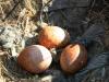 Кладка балобана из 3-х яиц типичной окраски