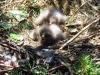 Птенцы большого подорлика в возрасте 5 суток. Массив Сомино