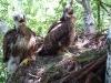 Птенцы канюка обыкновенного, с останками третьего птенца