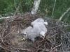 Птенцы канюка обыкновенного