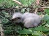 Молодой птенец канюка обыкновенного, гнездование около болота