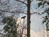 Дорослий підорлик біля гнізда