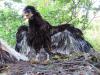 Частковий альбінізм (на ногах) у одного з пташенят